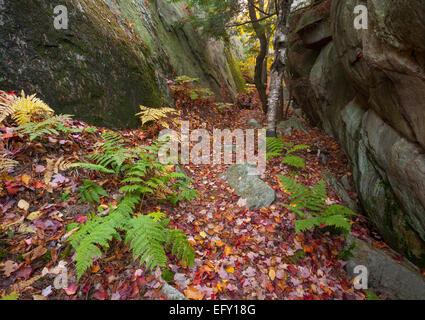 Pteridium aquilinum (Eastern Bracken) lines a trail during autumn in Killarney Provincial Park, Ontario, Canada. - Stock Photo