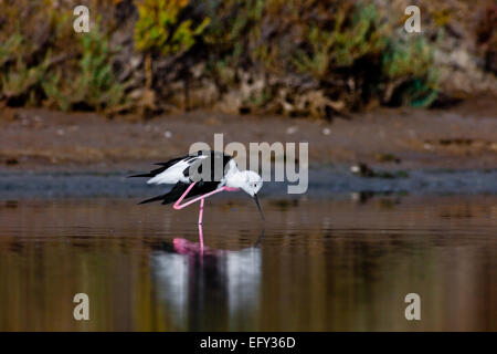A black-winged stilt sprucing oneself up - Stock Photo
