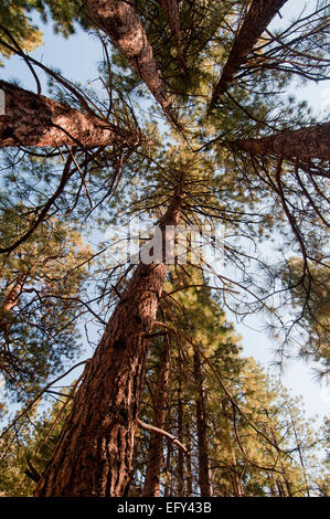 Ponderosa Pine Tree in middle of Quaking Aspens, Flagstaff