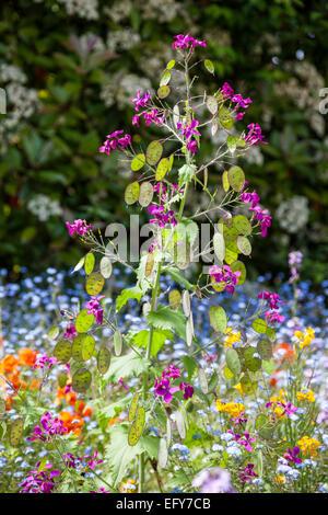 Border with Lunaria annua, Papaver nudicaule and Myosotis sylvatica - Stock Photo