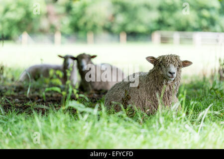 Sheep laying in the shade of trees in a meadow. - Stock Photo