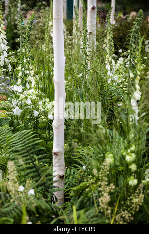 Betula utilis var. jacquemontii growing among white foxgloves, grasses and ferns - Stock Photo