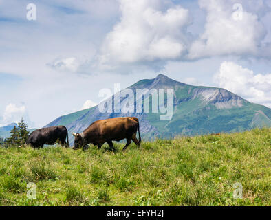 Herens breed alpine cows high up above Les Houches in the French Alps above the Chamonix Valley, France, Europe - Stock Photo