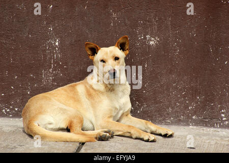 A brown dog lying on a sidewalk on a street in Cotacachi, Ecuador - Stock Photo
