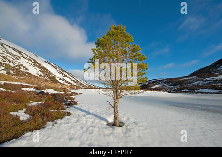 A solitary pine tree at a remote waterside edge of a Scottish Highland loch whose base in winter is encased in ice. - Stock Photo