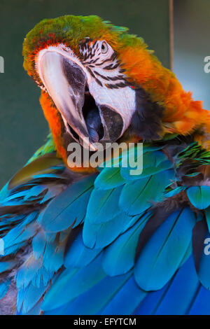 Closeup of single Macaw - Stock Photo