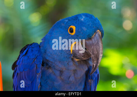 Closeup of single blue Hyacinth Macaw or Hyacinthine Macaw, Anodorhynchus hyacinthinus - Stock Photo