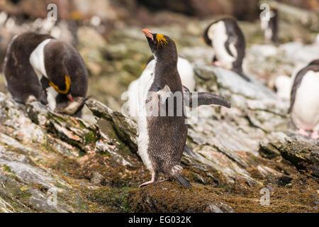 Macaroni penguin (Eudyptes chrysolophus) at Cooper Bay, South Georgia,Antarctica - Stock Photo
