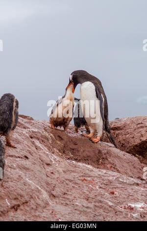 Gentoo penguin mother feeding chick at Petermann Island, Antarctica - Stock Photo
