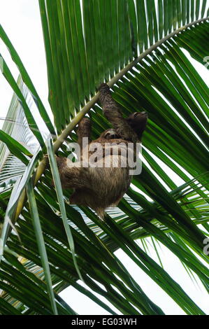 Female Brown-throated sloth with its baby nestled up against her tummy, climbing a palm leaf, Costa Rica, Central America