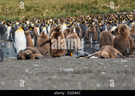 King Penguin (Aptenodytes patagonicus) colony with juveniles at Gold Harbour, South Georgia, Antarctica - Stock Photo