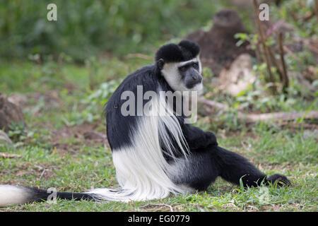 Black and white Colobus monkey sitting on grass Elsamere Kenya - Stock Photo