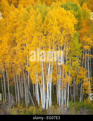 Gunnison National Forest, West Elk Mountains, CO: Aspen grove in fall - Stock Photo
