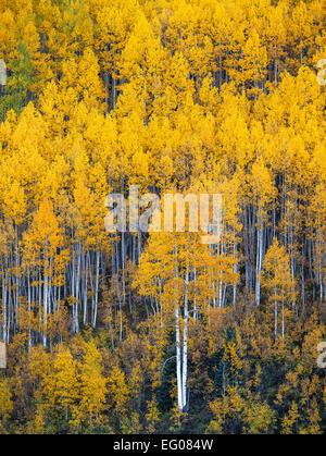 Gunnison National Forest, West Elk Mountains, CO: Aspen hillside in fall - Stock Photo