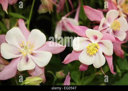 Pink aquilegia flowers - Stock Photo