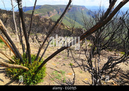Ravaged by bushfire, native Australian plants regenerate and regrow at Cahill's Lookout, Katoomba, New South Wales, - Stock Photo