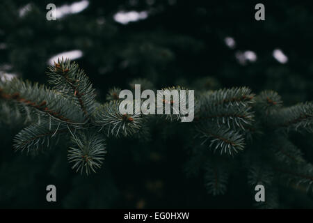 Close-up of Spruce tree branches - Stock Photo
