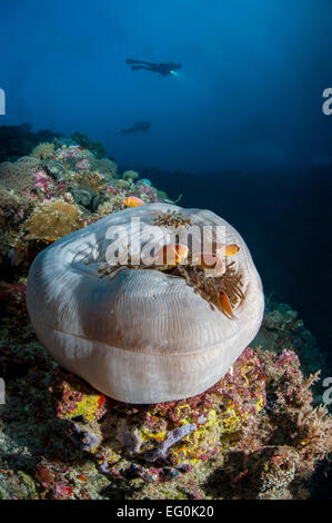Palau, White sack underwater on coral reefs with silhouettes of scuba divers in background - Stock Photo