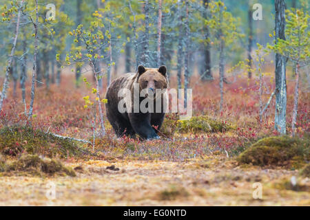 Brown bear, Ursus arctos, walking in red autumn colored bushes, Kuhmo, Finland - Stock Photo