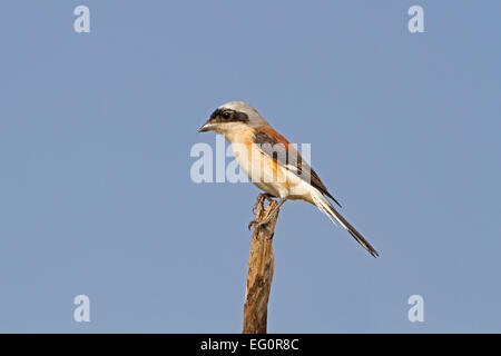 Bay-backed Shrike - Lanius vittatus - Stock Photo