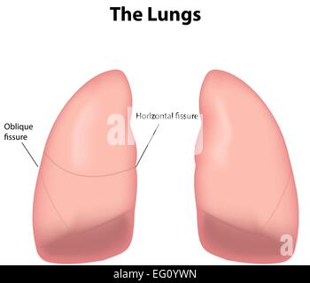 The Lungs Labeled - Stock Photo