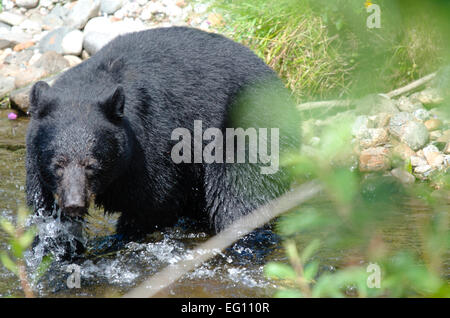 The chase isn't over yet - A fishing black bear - Stock Photo