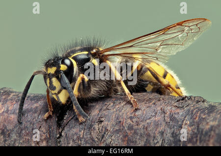 BMDBKY extreme macro image of a common wasp Vespula Vulgaris all of the wasp is in focus - Stock Photo