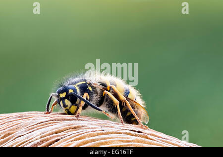 image of common wasp vespula vulgaris macro face head uk all of insect is in focus - Stock Photo