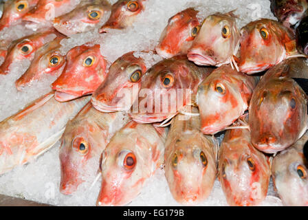 red gurnard Aspitrigla cuculus packed in ice on a fishmongers slab / counter - Stock Photo