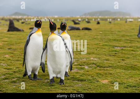 King penguins (Aptenodytes patagonicus) on Salisbury Plain, Bay of Isles on the north coast of South Georgia - Stock Photo