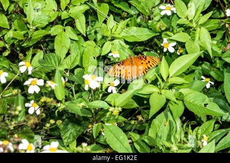 Florida Sebastian Pelican Island National Wildlife Refuge Gulf fritillary passion butterfly Agraulis vanillae Nymphalidae - Stock Photo