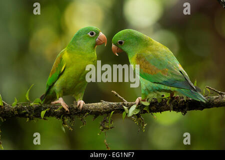 Orange-chinned Parakeet (Brotogeris jugularis), Costa Rica - Stock Photo