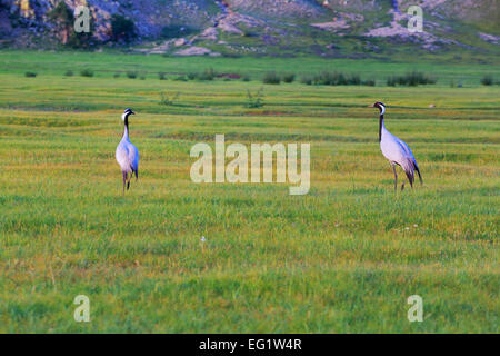 Demoiselle crane (Anthropoides virgo) in grass, Orkhon river, Bulgan province, Mongolia - Stock Photo