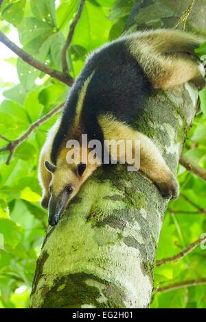 Northern Tamandua (Tamandua mexicana), Corcovado National Park, Osa Peninsula, Costa Rica - Stock Photo
