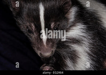 very close up photograph of a skunk showing just the head with detailed hair - Stock Photo
