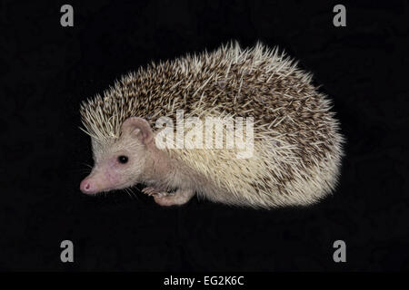 Close up and isolated photograph of a African pygmy hedgehog against a black background - Stock Photo