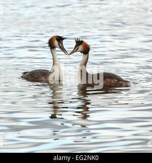 A couple of Great Crested Grebes courting in calm water - Stock Photo