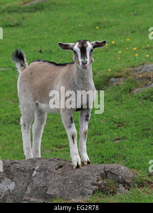 A young Goat standing on a rock, looking straight into the camera - Stock Photo