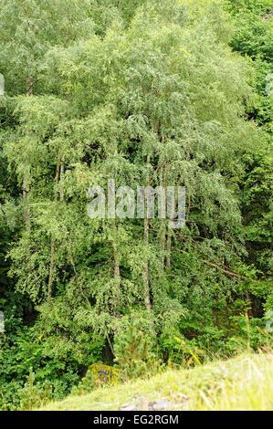Silver birchs, Betula pendula, in Val du Moudang. Fabian (Aragnouet). Hautes Pyrenees. Francia. - Stock Photo