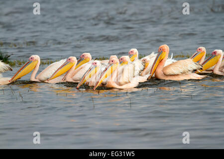 Great white pelicans (Pelecanus onocrotalus) swimming, Lake Nakuru National Park, Kenya - Stock Photo