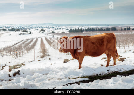 Cows in Snowscape. Photographed in the Golan Heights, Israel - Stock Photo