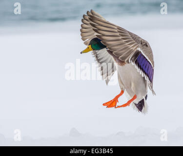 Male Mallard Duck coming in for a landing. - Stock Photo