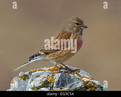 Male linnet in Winter plumage perched on rock - Stock Photo