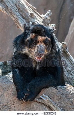 Andean Bear, or Spectacled Bear, Tremarctos ornatus, also called Andean short-faced bear, Cheyenne Mountain Zoo, - Stock Photo