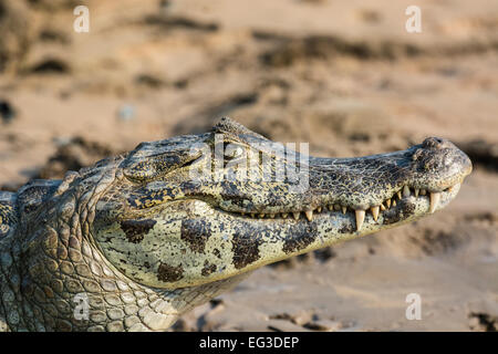 Profile of the head of a smiling Yacare Caiman, Caiman crocodilus yacare, Pantanal, Mato Grosso, Brazil, South America