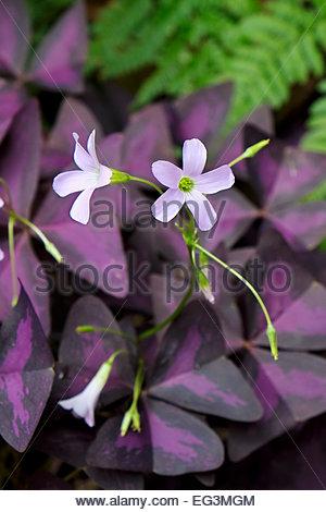 Threeleaf purple shamrock — Oxalis triangularis — with blossoms. - Stock Photo