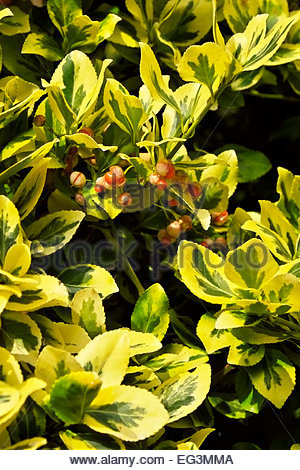 Berries of the Emerald 'n Gold Euonymus fortunei, named for famed Scots plant explorer, Robert Fortune. - Stock Photo