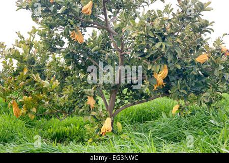 Buddha's Hand, maturing fruit on branches. - Stock Photo