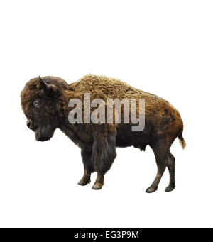 American Bison Isolated On White Background - Stock Photo