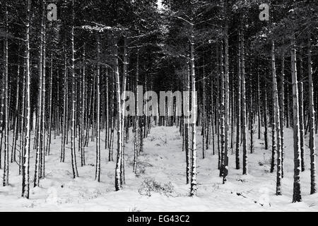 Winter snow covered pine trees in the Scottish countryside. Scotland. Monochrome - Stock Photo